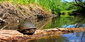 stock photo of winnebago  - Blandings Turtle basking on a log in a stream of northern Illinois - JPG