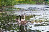 stock photo of baby goose  - White Canada Goose and baby chick leucistic - JPG