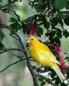 stock photo of canary-islands  - The yellow Canary  - JPG