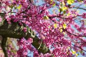picture of judas  - Pink Blooming branches of Judas tree or Cercis siliquastrum with blue sky - JPG
