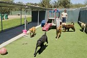 stock photo of daycare  - A female staff member at a kennel supervises several large dogs playing together - JPG