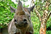 stock photo of fat lip  - The black rhinoceros or hook - JPG