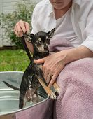 Cute Chihuahua Gets His Bath Outdoors In A Metal Washtub