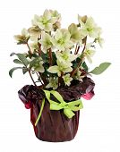 picture of helleborus  - Potted Helleborus White Beauty in a decorative packaging isolated on white background - JPG