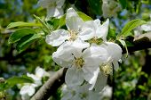 blossom of the Apple tree