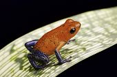 pic of rainforest animal  - strawberry poison dart frog a beautiful tropical amphibian from the rain forest this red and blue animal is kept as a pet in a rainforest terrarium - JPG