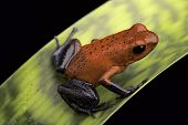 pic of poison frog frog  - frog with red and blue strawberry poison dart frog Oophaga pumilio for Costa Rica tropical rain forest - JPG