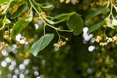 pic of lime-blossom  - Blooming linden - JPG