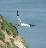 image of gannet  - Wild Northern Gannet morus bassanus seabird in flight off english coastline - JPG