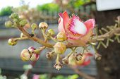 picture of cannonball-flower  - Canonball flower or Couroupita guianensis flower blooming on tree tree of buddha