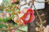stock photo of cannonball-flower  - Canonball flower or Couroupita guianensis flower blooming on tree tree of buddha