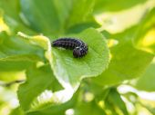 picture of green caterpillar  - Black caterpillar on fresh green leaf waiting for waiting for the metamorphosis  - JPG