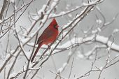 stock photo of cardinals  - Male Northern Cardinal (Cardinalis cardinalis) in Winter - Ontario Canada