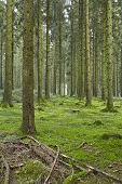 stock photo of floor covering  - A forest with trees stubs and a moss - JPG