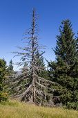 picture of walking dead  - a dead tree in the bavarian forest beautiful blue sky behind - JPG