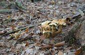 foto of agar  - Honey agaric yellow  mushrooms on the stump - JPG