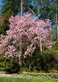 stock photo of japanese magnolia  - A japanese magnolia tree blooming in the spring over tulips - JPG