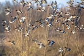 picture of duck-hunting  - Migrating ducks are leaving to the southern hibernating areas in autumn and winter - JPG