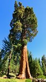 pic of sequoia-trees  - Giant sequoia trees in Sequoia National Park - JPG