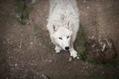 stock photo of white wolf  - Arctic Wolf  - JPG
