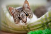 foto of vertebrate  - Portrait of the striped with white a cat - JPG