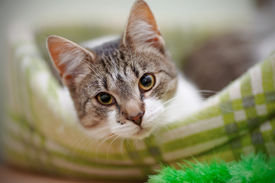 picture of claw  - Portrait of the striped with white a cat - JPG