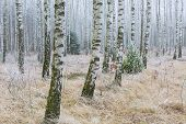pic of birching  - Frosty birch forest in winter - JPG