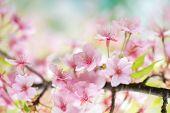 pic of cherries  - Kawazu sakura cherry blossom  - JPG