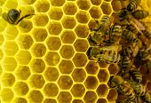 foto of working animal  - Bees at work - JPG