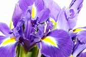 image of purple iris  - beautiful dark purple iris flower isolated on white background - JPG