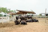 stock photo of carabao  - This a photo of Murrah buffalo in farm - JPG