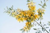 stock photo of mimosa  - Mimosa branch with yellow flowers in March - JPG