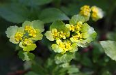 picture of cowslip  - Early spring - JPG