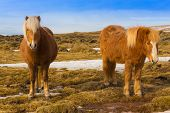 stock photo of horse-breeding  - Beauty of local Icelandic horse locate in southern Iceland - JPG