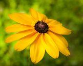 image of black-eyed susans  - Black Eyed Susan Flower Against a Green Background - JPG