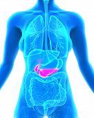 image of pancreas  - Human Gallbladder and Pancreas Anatomy Illustration - JPG