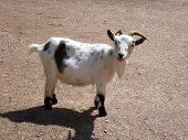 image of pygmy goat  - white and brown pygmy goat with horns - JPG