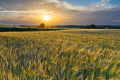 pic of grown up  - Sunset over cereal field with grown up ears - JPG