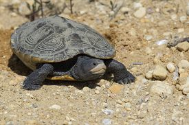 stock photo of terrapin turtle  - Terrapin laying eggs in sand - JPG
