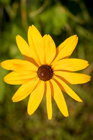 "stock photo of black-eyed susans  - ""Black-Eyed-Susan"" flower (or Brown Betty Gloriosa Daisy Golden Jerusalem Poorland Daisy Yellow Ox-Eye Daisy) macro shot - JPG"