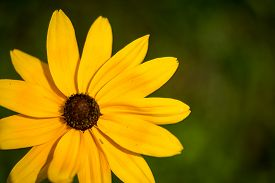 picture of black-eyed susans  - yellow black - JPG