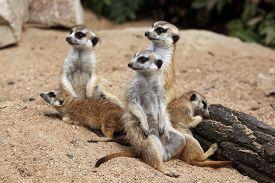 stock photo of meerkats  - Meerkat  - JPG
