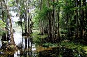 picture of bayou  - Spainish moss hanging from tree in a swamp - JPG
