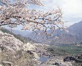 image of cherry-blossom  - landscape details - JPG