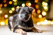 A Small Pedigreed Puppy Near A Christmas Tree With Garlands poster