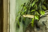 Copperhead Racer (radiated Rat Snake, Copperhead Rat Snake, Copper-headed Trinket Snake), A Nonvenom poster