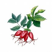 Dog Rose (eglantine Rose), Rose Hip Branch With Berries And Leaves Isolated On White Background. Wat poster