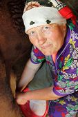 stock photo of milkmaid  - woman old poor senior farmer milking cow - JPG