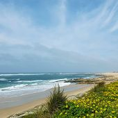 Beautiful Spring Landscape With Blooming Wild Yellow Flower Carpet On The Atlantic Ocean Coastline A poster