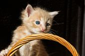 Little Fluffy Kitten With Blue Eyes On The Handle Of A Wicker Basket On A Brown Background In The Su poster